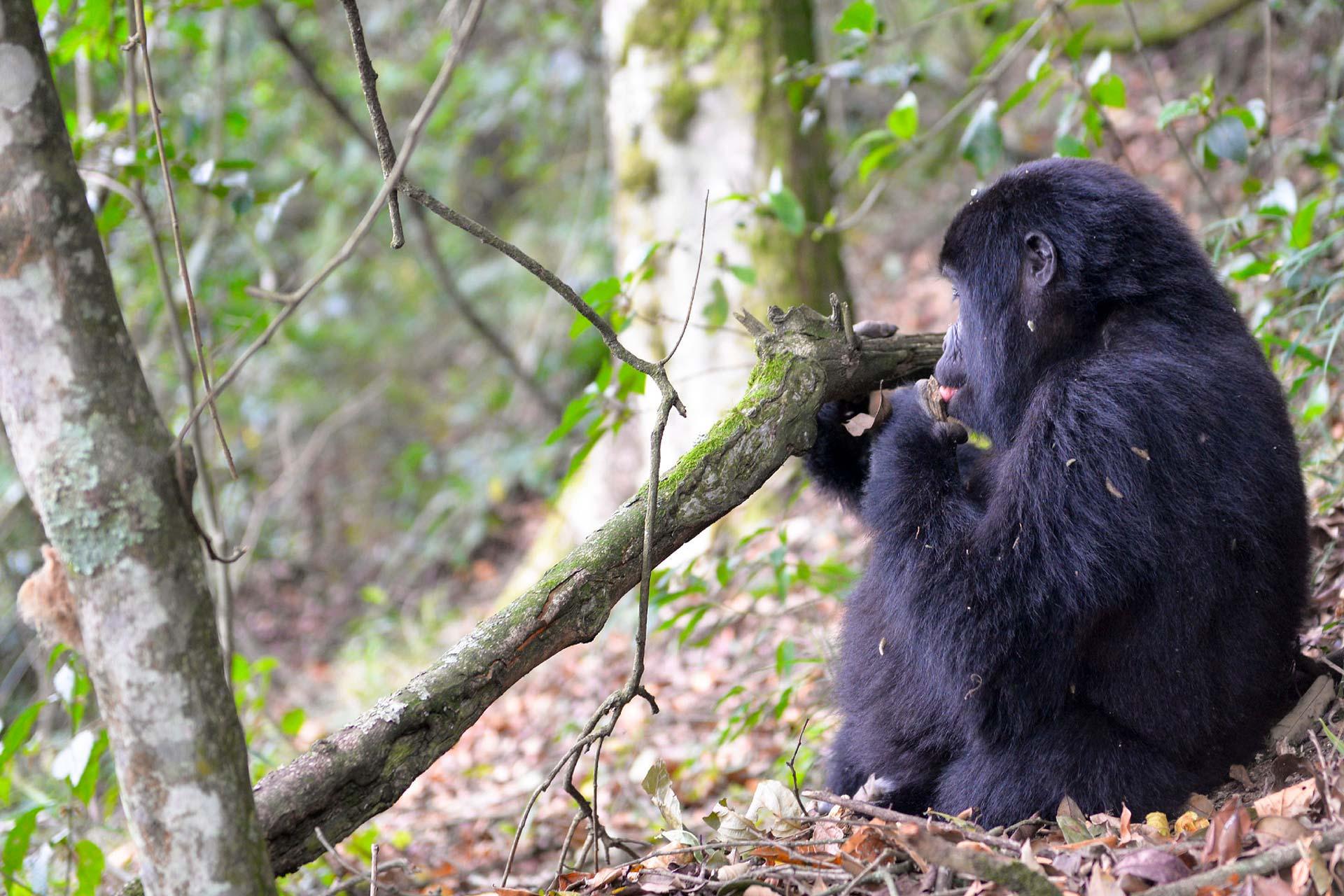 Gorilla Trekking Safaris - Scenic Trails Uganda Safaris