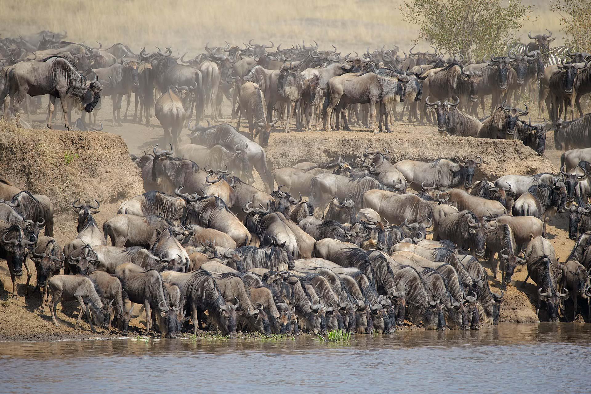 Best of East Africa Safari- Maasai Mara National Park- Great Migration Safaris - Scenic Trails Uganda Safaris