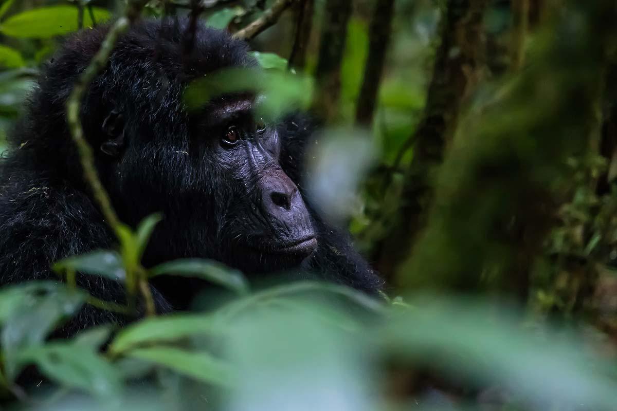 Gorillas & Wildlife Safaris- Uganda Gorilla safaris
