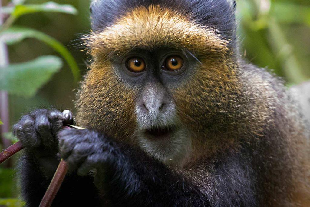 Golden Monkey Trekking in Mgahinga Jungle