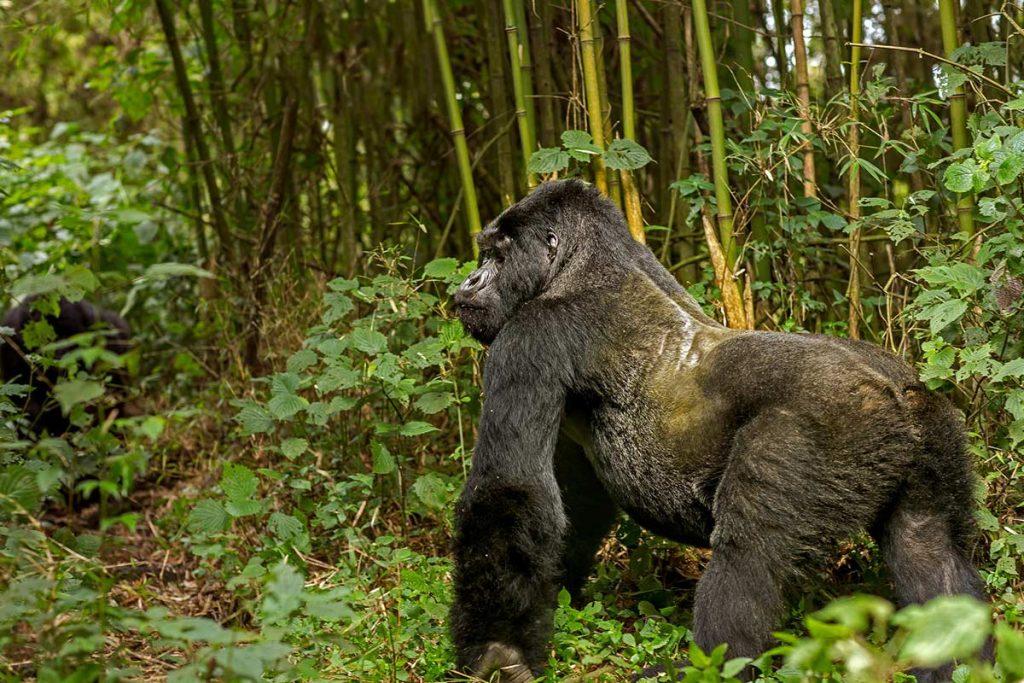 Gorilla Trekking in Bwindi Forest Jungle