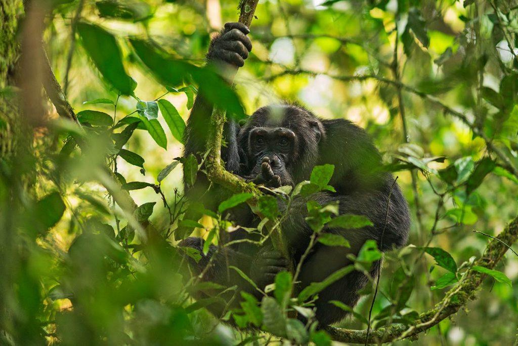 Chimpanzee Trekking in Kibale Jungle