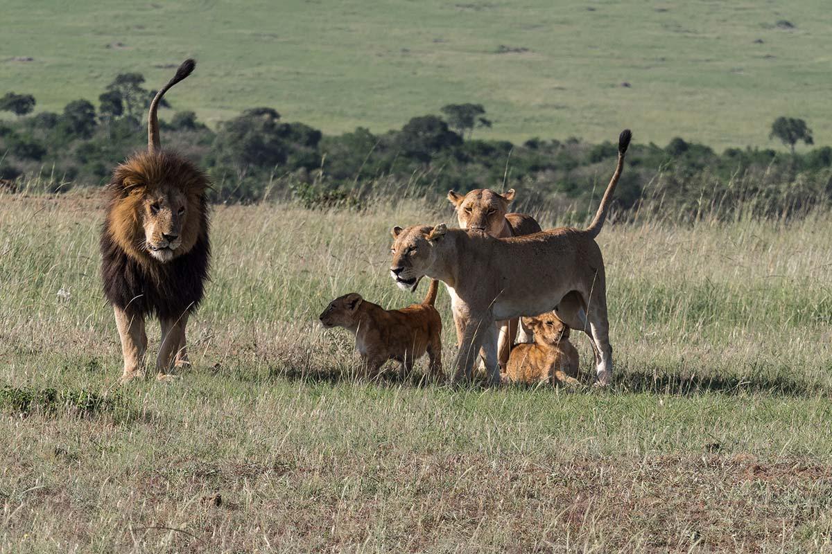 Best of East Africa Safari- Gorillas- Maasai Mara overland Safari- Kenya Safaris