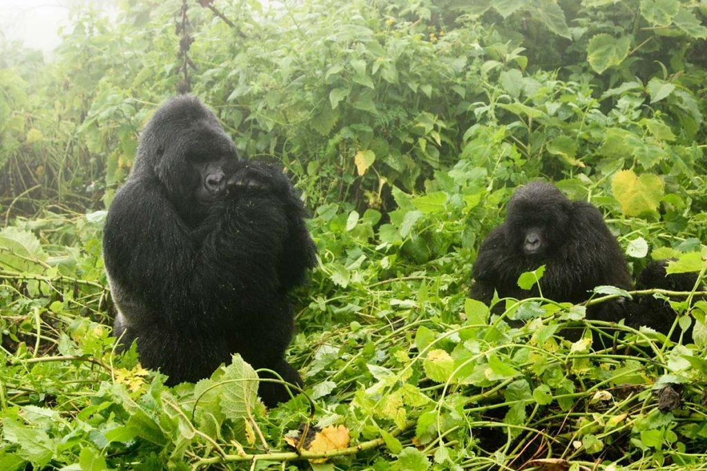 Rwanda gorillas in the mist