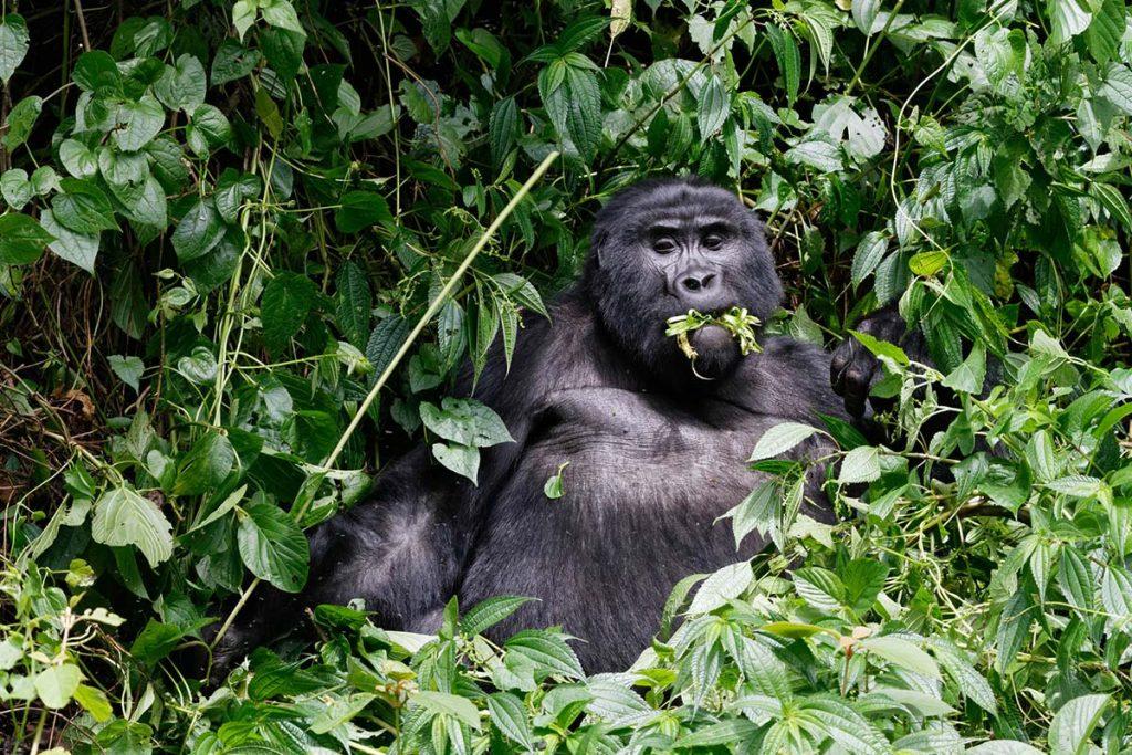 Rwanda gorilla trekking in Volcanoes National Park