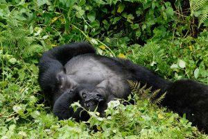 Gorillas in the mist - Rwanda Safaris - Rwanda gorilla trekking