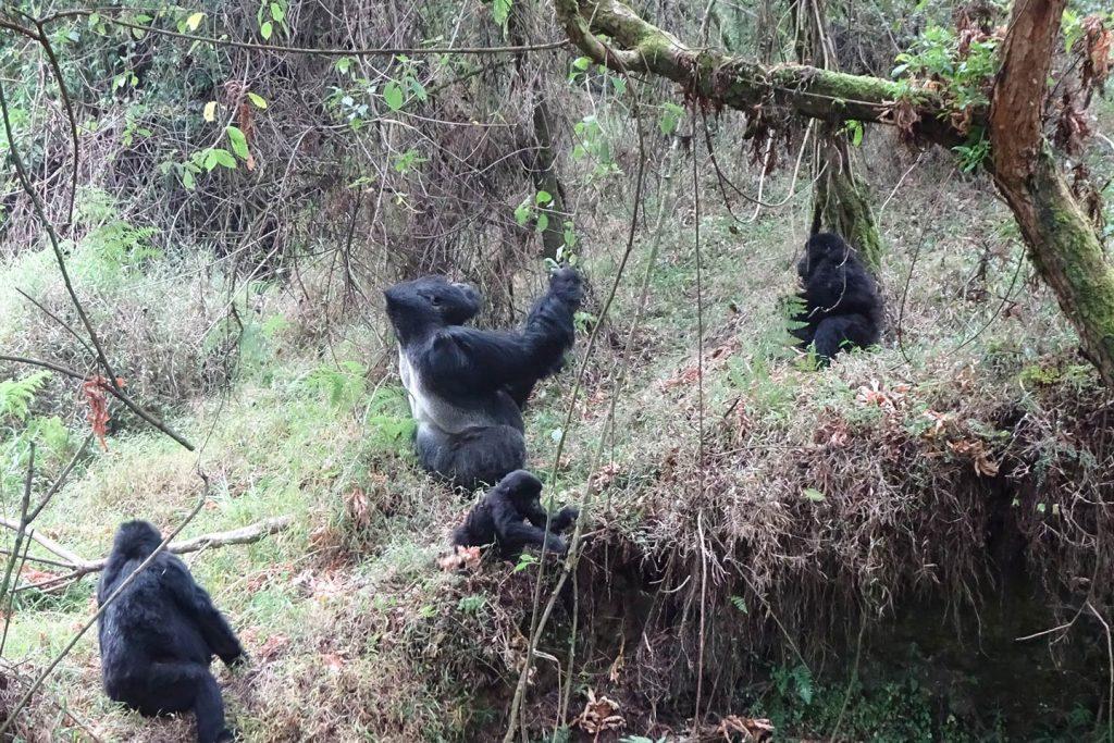 Volcanoes National Park - Rwanda's Gorillas in The Mist