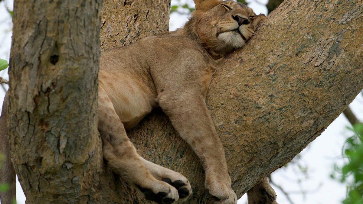 Tree climbing Lions of Ishasha in Uganda